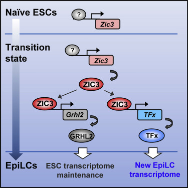 ZIC3 Controls the Transition from Naive to Primed Pluripotency