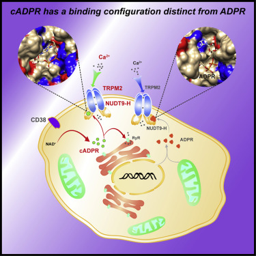 Direct Gating of the TRPM2 Channel by cADPR via Specific