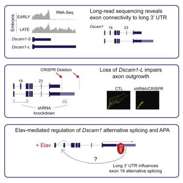 Elav-Mediated Exon Skipping and Alternative Polyadenylation of the