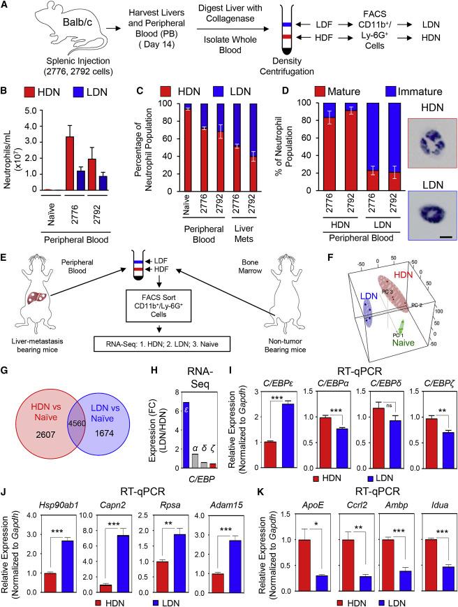 Immature Low-Density Neutrophils Exhibit Metabolic