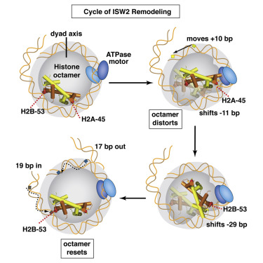 Histone Octamer Structure Is Altered Early in ISW2 ATP