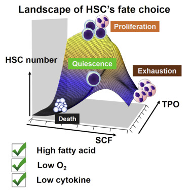 Environmental Optimization Enables Maintenance Of Quiescent Hematopoietic Stem Cells Ex Vivo Sciencedirect