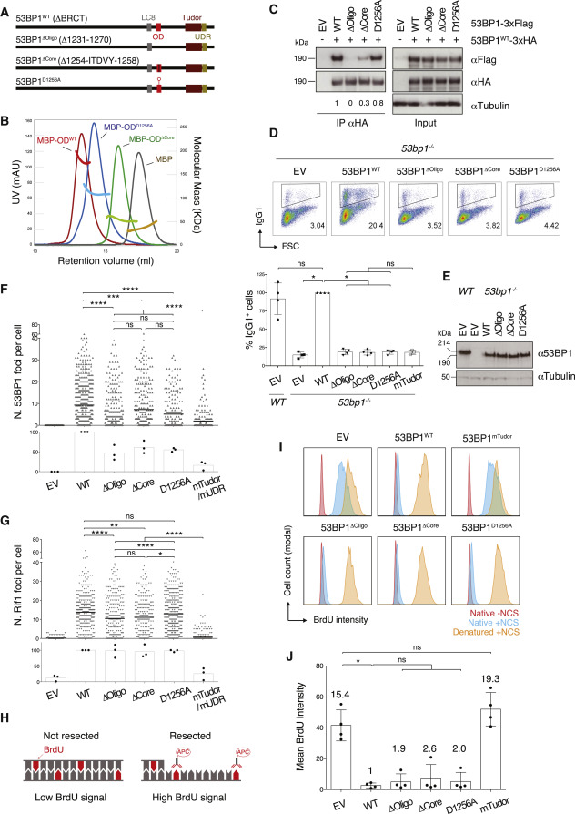 53BP1 Supports Immunoglobulin Class Switch Recombination