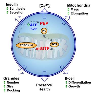 Mitochondrial GTP Links Nutrient Sensing to β Cell Health