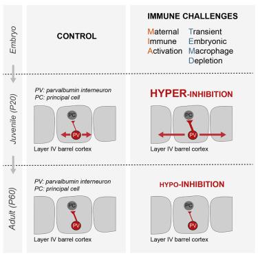 Biphasic Impact Of Prenatal Inflammation And Macrophage