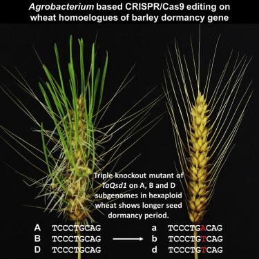 Genome-Edited Triple-Recessive Mutation Alters Seed Dormancy in Wheat - ScienceDirect