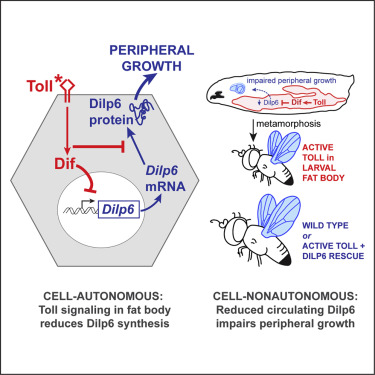 The Toll Signaling Pathway Targets The Insulin Like Peptide