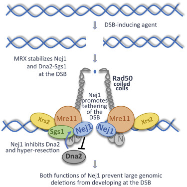 Nej1 Interacts with Mre11 to Regulate Tethering and Dna2 Binding at