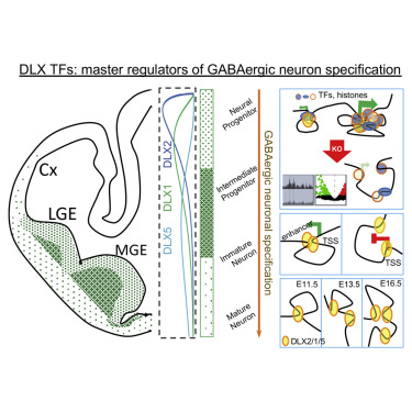 Genomic Resolution of DLX-Orchestrated Transcriptional