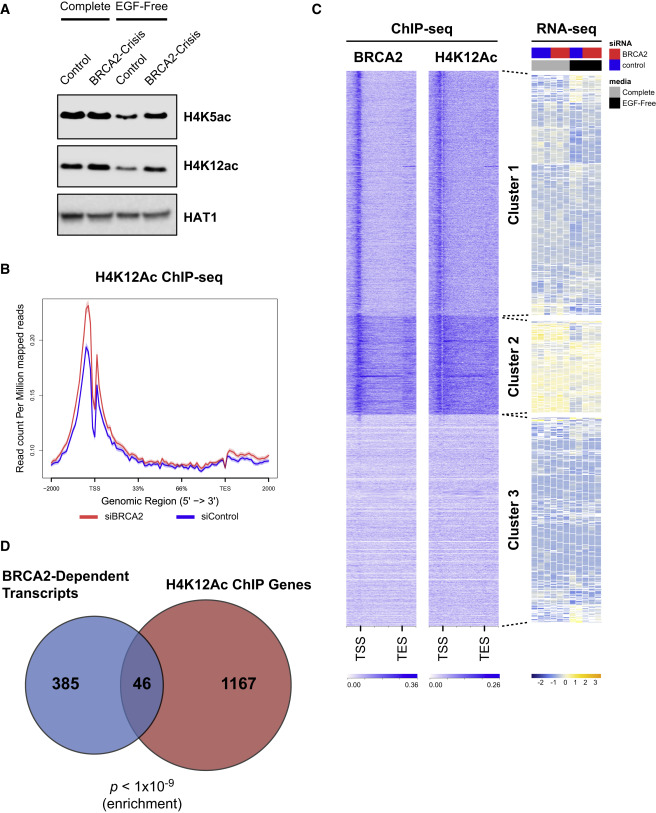 Chromatin Remodeling in Response to BRCA2-Crisis - ScienceDirect