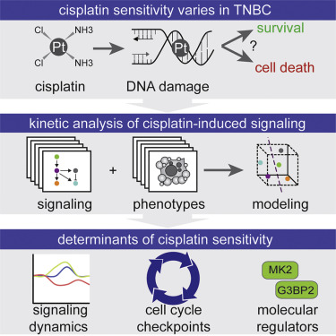 Modeling of Cisplatin-Induced Signaling Dynamics in Triple