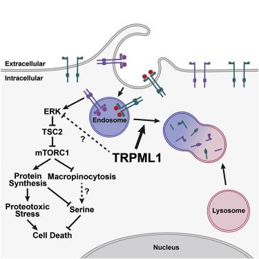 TRPML1 Promotes Protein Homeostasis in Melanoma Cells by