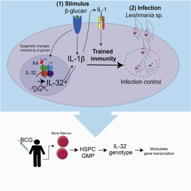 Immune System May Play Crucial Role In >> B Glucan Induced Trained Immunity Protects Against