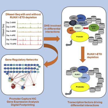 runx1 eto depletion in t(8;21) aml leads to c ebpα and ap 1 clu 21 daunenjacken c 8_21 #6