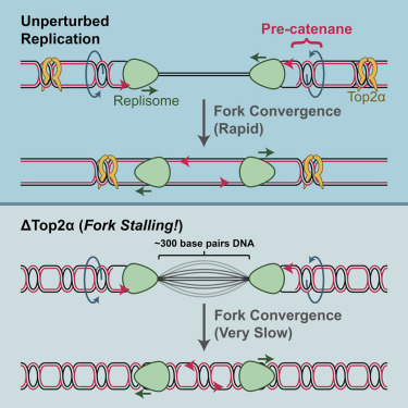 Topoisomerase Ii Is Crucial For Fork Convergence During Vertebrate Replication Termination Sciencedirect