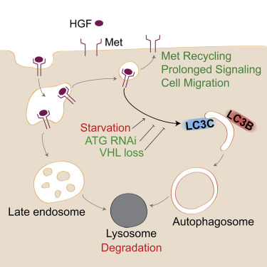 Lc3c Mediated Autophagy Selectively Regulates The Met Rtk And Hgf