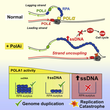 Physiological Tolerance To Ssdna Enables Strand Uncoupling During Dna Replication Sciencedirect