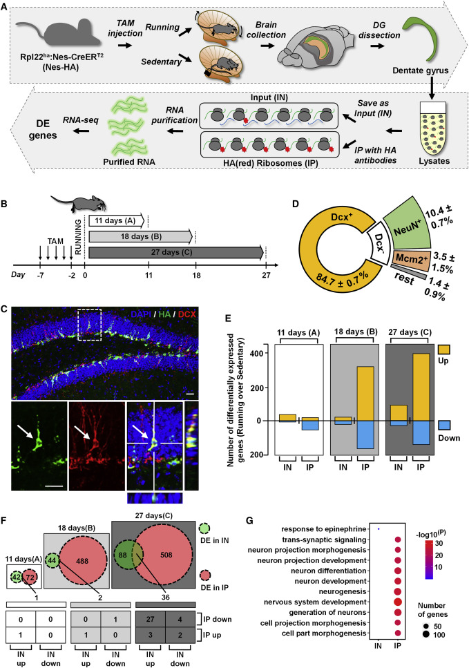 Rgs6 Mediates Effects Of Voluntary Running On Adult Hippocampal Neurogenesis Sciencedirect