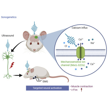 Targeted Neurostimulation in Mouse Brains with Non-invasive Ultrasound -  ScienceDirect