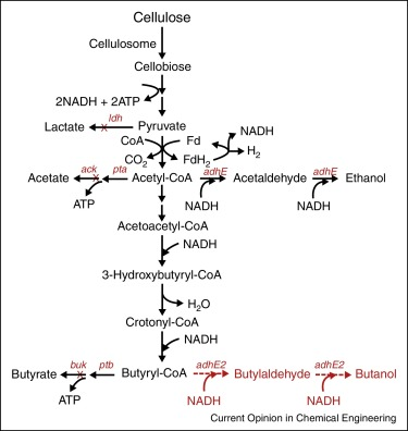 Engineering clostridia for butanol production from biorenewable