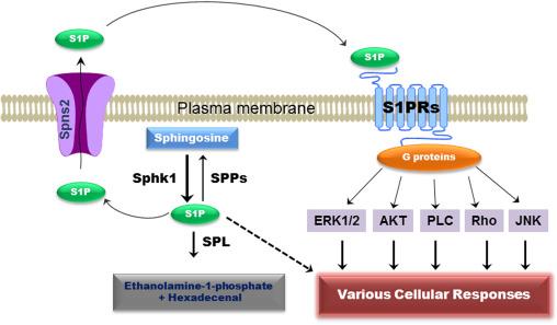 taille 40 61f8d 672d7 Bile acids and sphingosine-1-phosphate receptor 2 in hepatic ...
