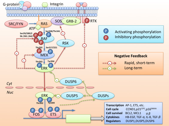 Targeting ERK, an Achilles' Heel of the MAPK pathway, in cancer