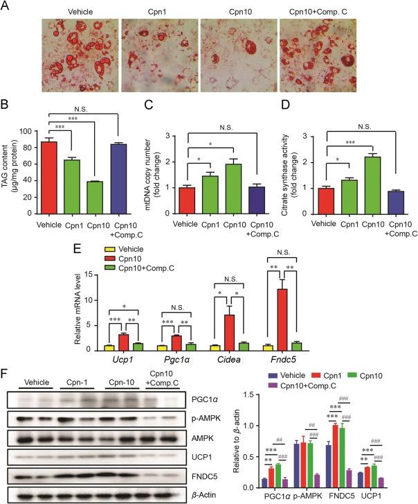 Cordycepin promotes browning of white adipose tissue through an AMP