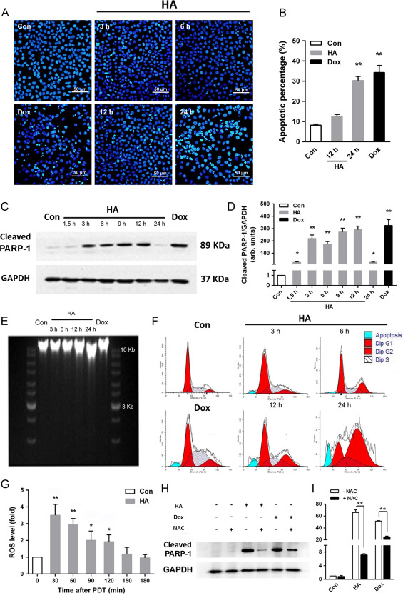 Hypocrellin A-based photodynamic action induces apoptosis in A549