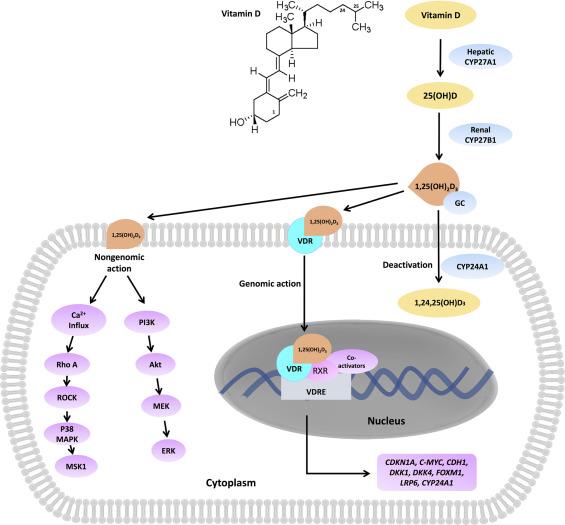 Repurposing Vitamin D For Treatment Of Human Malignancies Via Targeting Tumor Microenvironment Sciencedirect