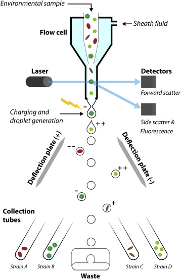 fluorescence activated cell-sorting principles and applications in  microalgal biotechnology - sciencedirect  sciencedirect.com