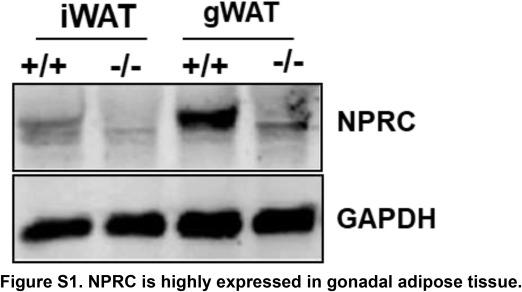Cardiac natriuretic peptides promote adipose 'browning