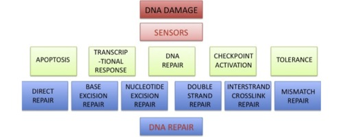 Pathway-centric analysis of the DNA damage response to