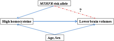 Common folate gene variant, MTHFR C677T, is associated with