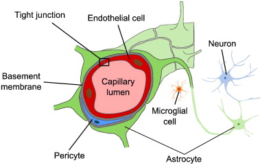 Image result for blood brain barrier capillary endothelial cells