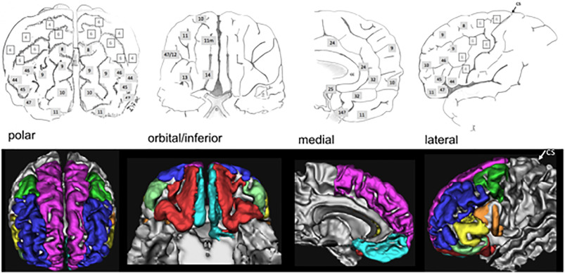 The anatomy of the human medial forebrain bundle: Ventral tegmental ...