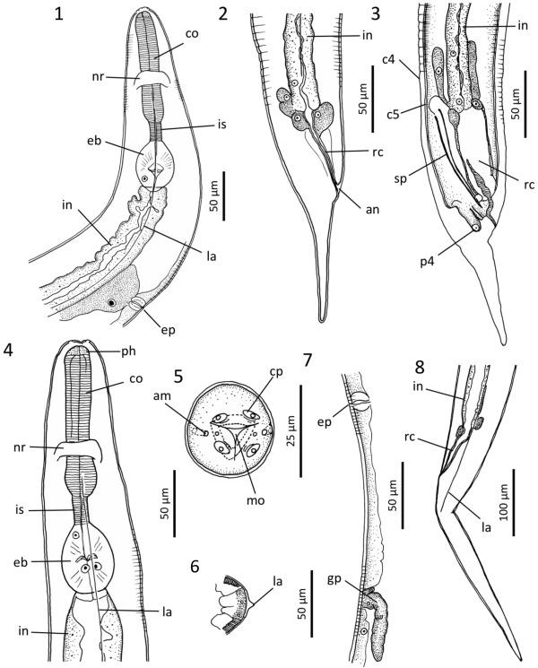 a pinworm szisztematikus helyzete