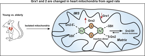 Aging dependent changes in rat heart mitochondrial glutaredoxins download full size image ccuart Choice Image