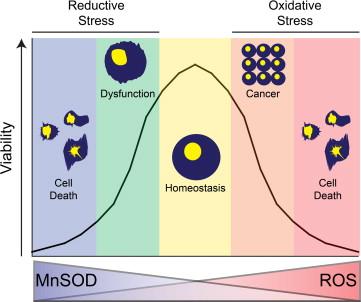 「superoxide dismutase mnsod」の画像検索結果