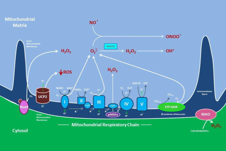 Mitochondrial Reactive Oxygen Species A Double Edged Sword In
