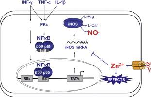 Zinc regulates iNOS-derived ni...