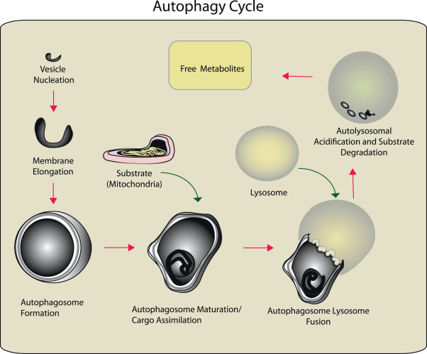 Autophagy in lung disease pathogenesis and therapeutics
