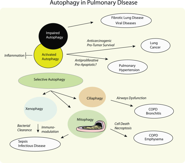 Autophagy in lung disease pathogenesis and therapeutics - ScienceDirect