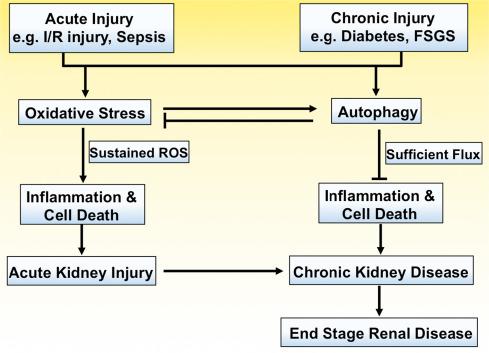 Oxidative Stress And Autophagy Crucial Modulators Of Kidney Injury Sciencedirect