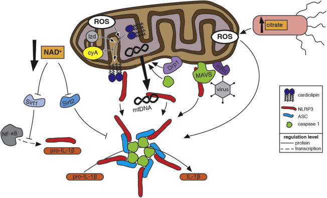 Reactive oxygen species and mitochondria: A nexus of cellular