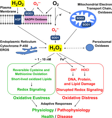Hydrogen peroxide as a central redox signaling molecule in