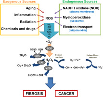 the liver oxidative stress and dietary antioxidants