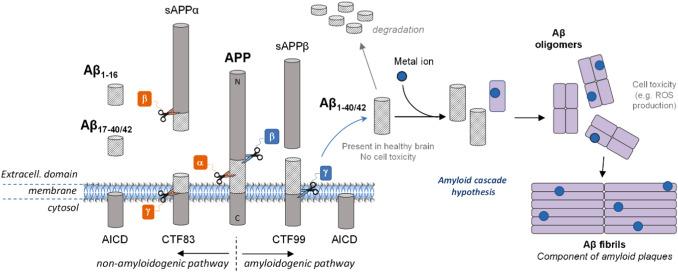 「iron amyloid ros」の画像検索結果
