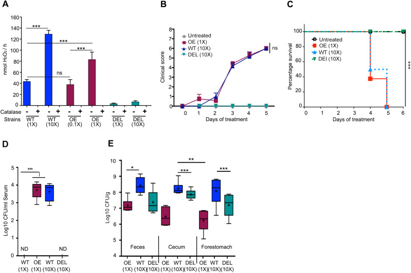 Hydrogen peroxide production by lactobacilli promotes epithelial