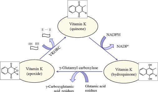is vitamin k from diet oxidized