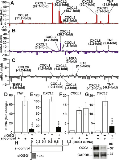 Effects of the stimuli-dependent enrichment of 8-oxoguanine